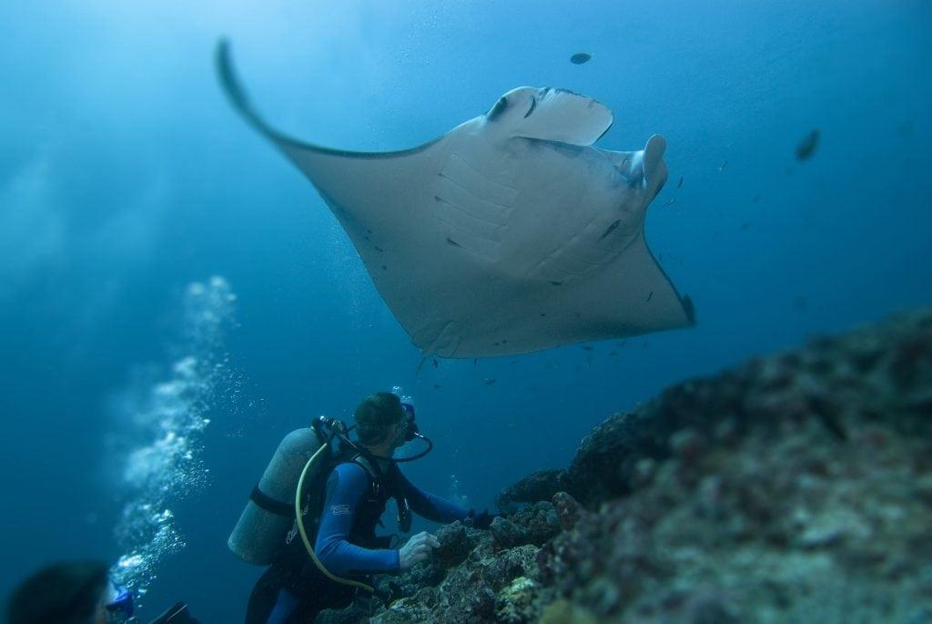 Cook Island Manta Ray