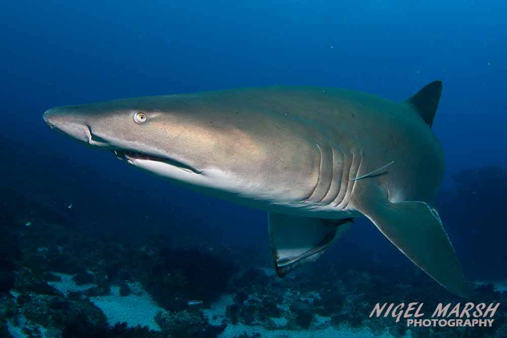Grey Nurse Shark at 9 Mile Reef