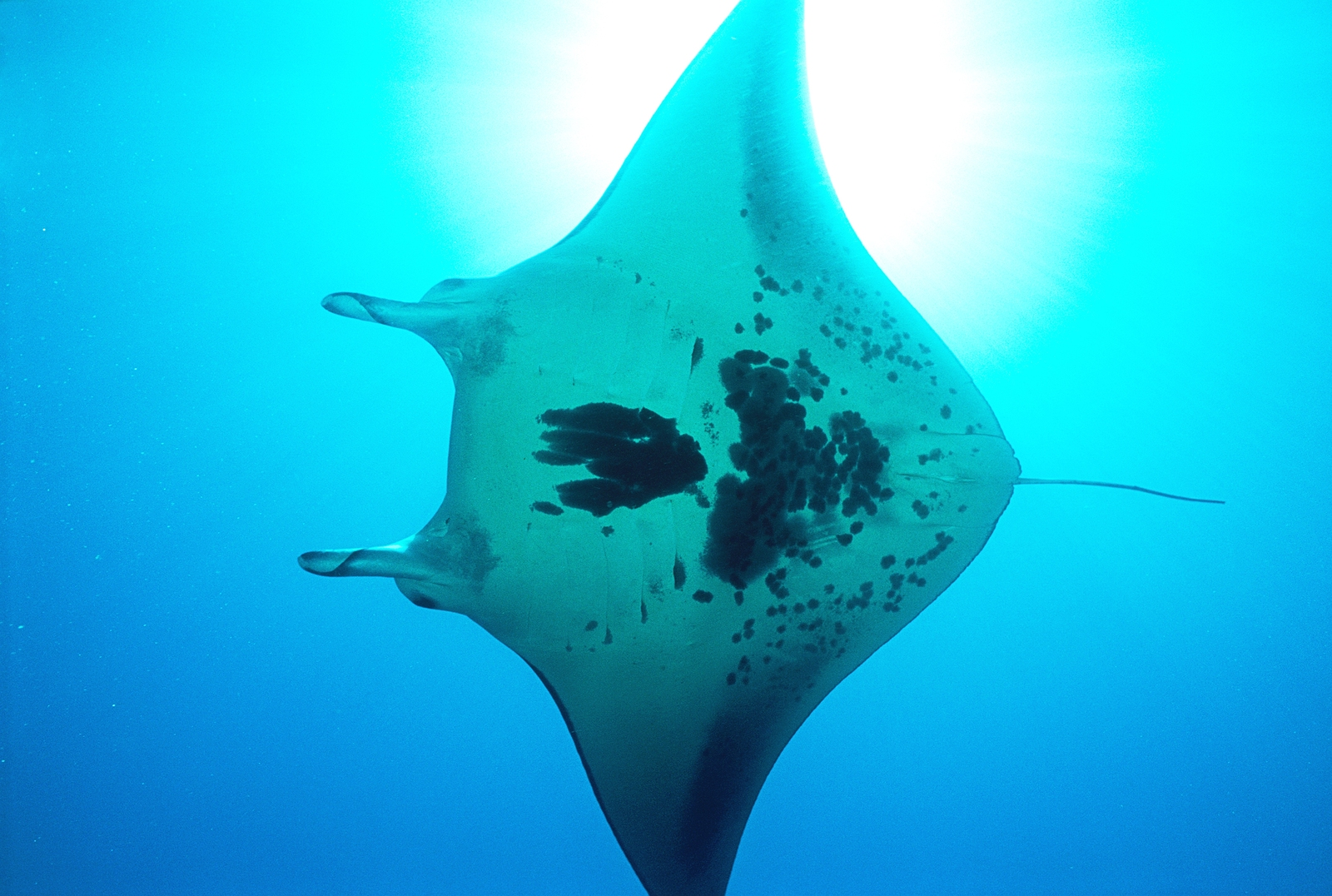 Manta Ray North Stradbroke Island